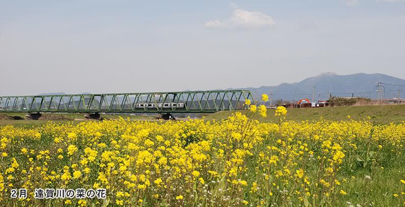 2月遠賀川の菜の花