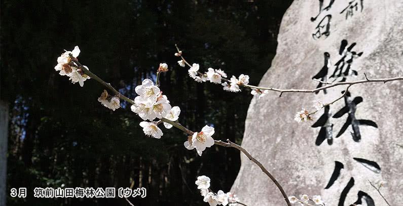 3月筑前山田梅林公園〔ウメ〕