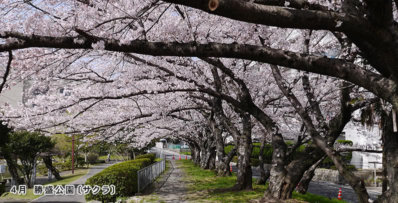 4月勝盛公園〔サクラ〕